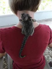 BDA Pairs Capuchin pygmy marmoset available 07031956739