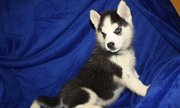 Blue Eyes Siberian Husky Pups