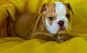 English Bulldog Puppies Ready